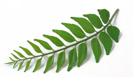 Beauty Tips: Curry leaves to control hair falls