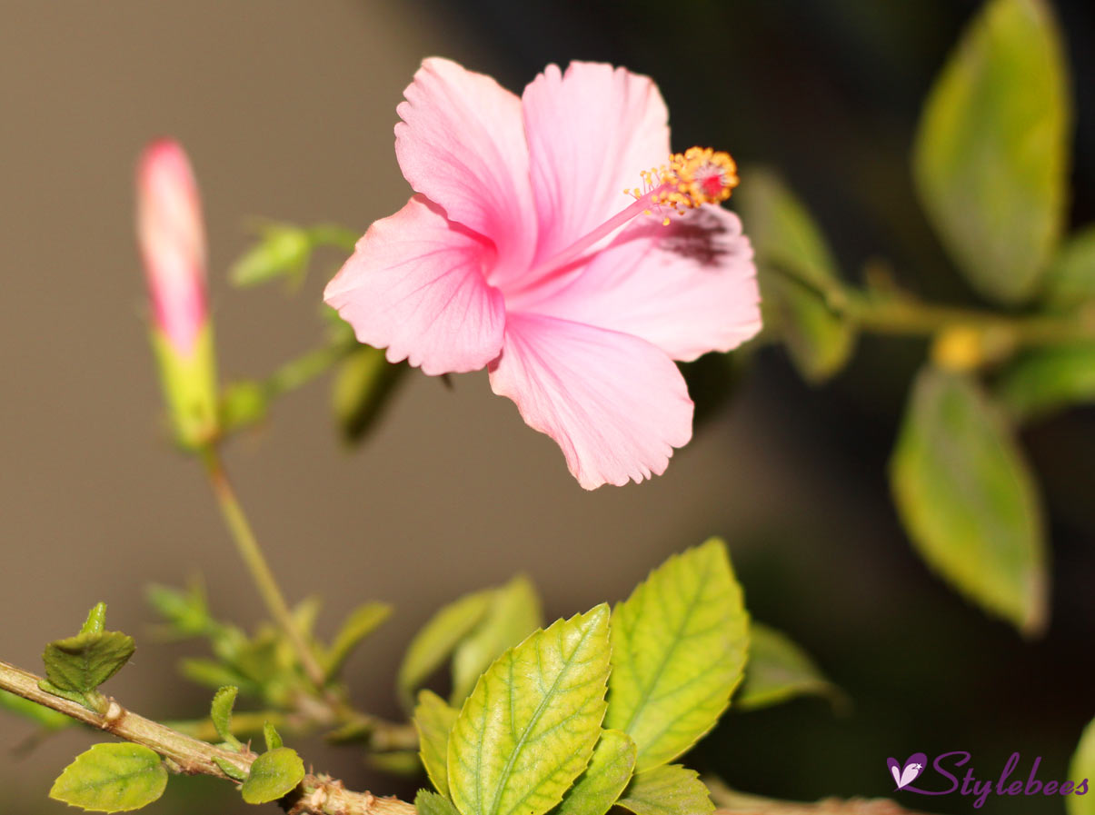 5 plants worth having in your home garden for beauty and health hibiscus for hair growth izmirmasajfo