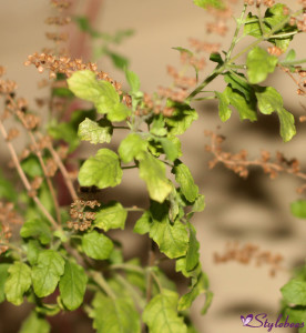 Tulsi leaves for glowing skin and healthy body